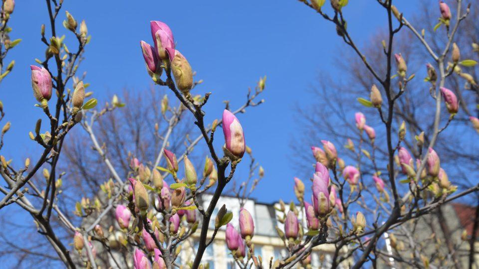 Právě rozkvétá magnolie