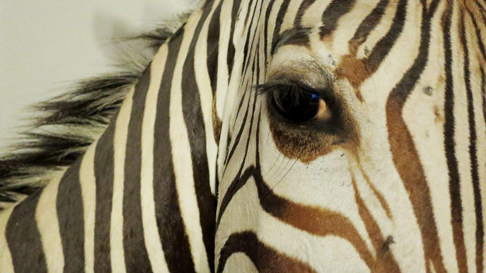 Lovci, kteří legálně uloví zvíře v Africe, do ateliéru posílají jen kůže k dalšímu zpracování