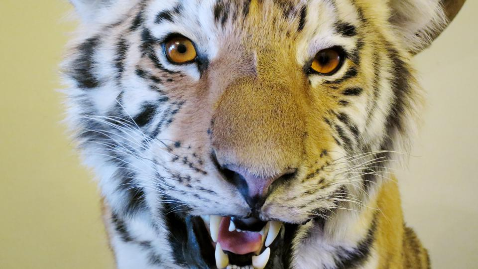 Lovecká trofej tygra usurijského
