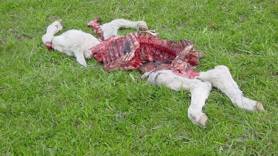 Vlci na Broumovsku působí chovatelům škody