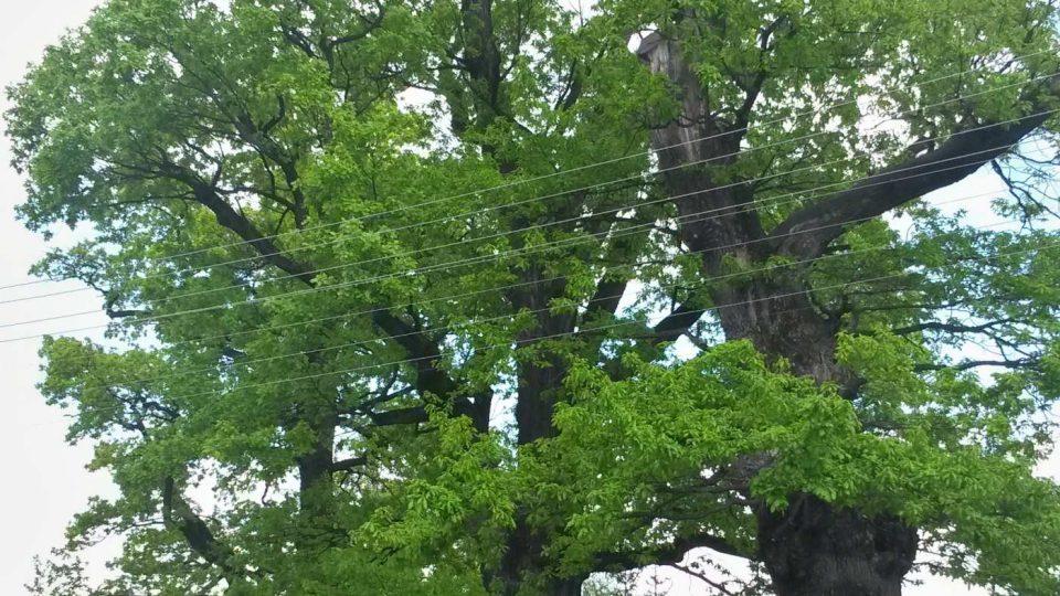 Tři památné duby stojí v Raškovicích hned u silnice směrem na Skalici