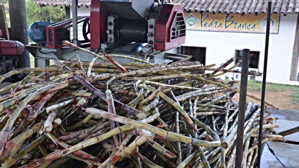 Stonky třtiny připomínají bambus