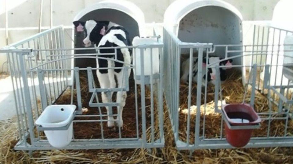 Telata jsou vedlejším produktem mléčného průmyslu. Chovatelé je potřebují jen proto, aby kráva měla mateřské mléko