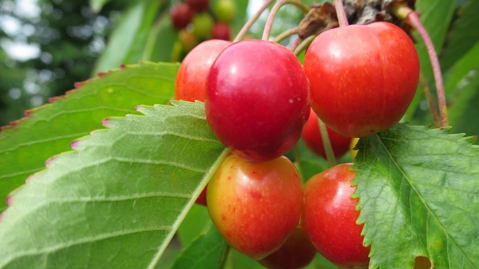 Okolo Svinčan a Choltic se vždy pěstovaly třešně, dnes převažují jablka