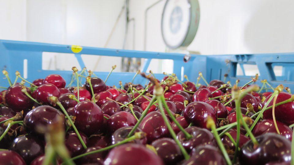 Třešně se ve Svinčanech sklízejí 6 týdnů, dozrávají podle odrůd