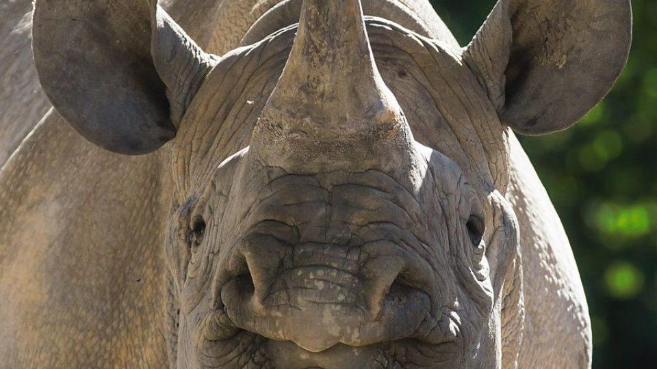 ZOO Dvůr Králové posílá dalšího nosorožce do Afriky. Eliška vyrazí na cestu