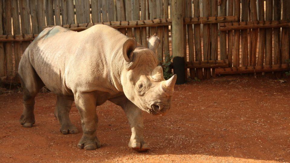 Transport nosorožcí samice Elišky do africké Tanzanie