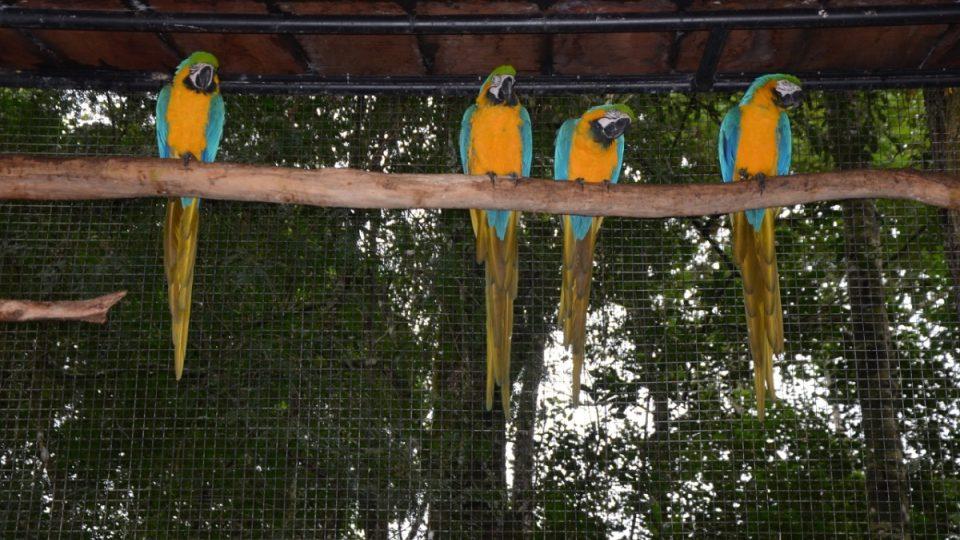 Čtyři příslušníci druhu ara ararauna si z větve prohlížejí návštěvníky