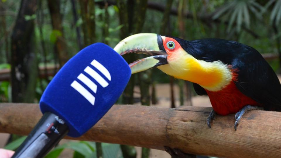 Haló haló, pro Český rozhlas z Fozu de Iguaçú, tukan.