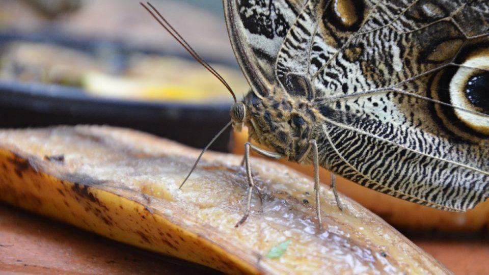 Mají tu i motýlí voliéru, kde je lákají na sladké banány