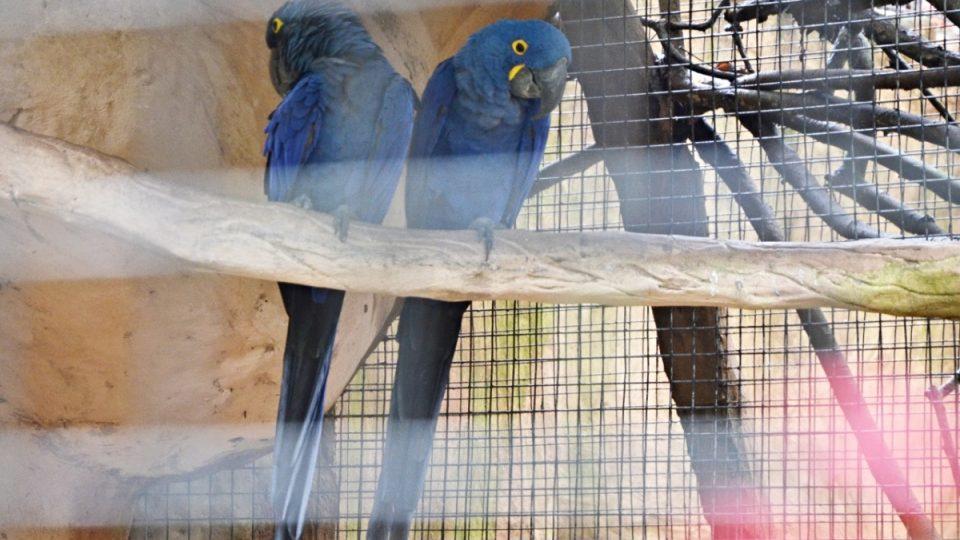 Pár arů hyacintových, asi nejvzácnějších arů a určitě největších papoušků. Křik příbuzných by nesnesli