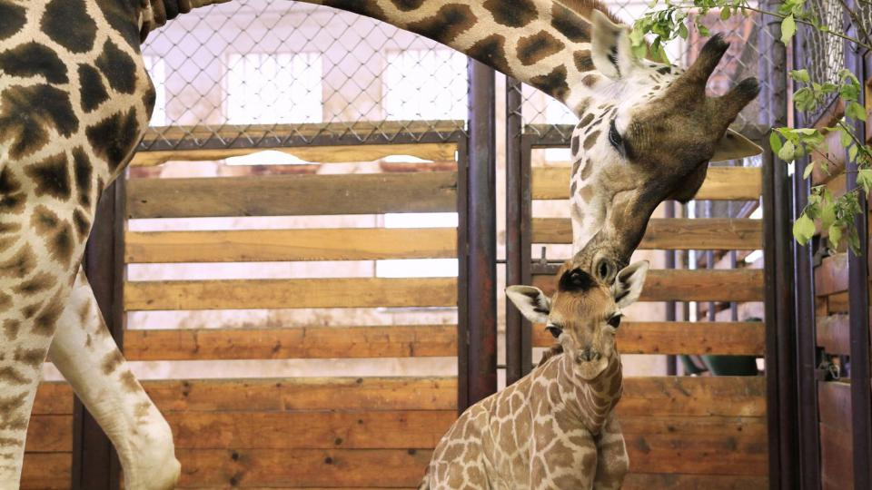 Logan je 170. žirafou Rothschildovou narozenou v ZOO Dvůr Králové