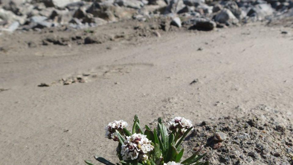 Brukvovitá rostlina braya purpurascens roste na místech, kde byl ještě před pár lety ledovec