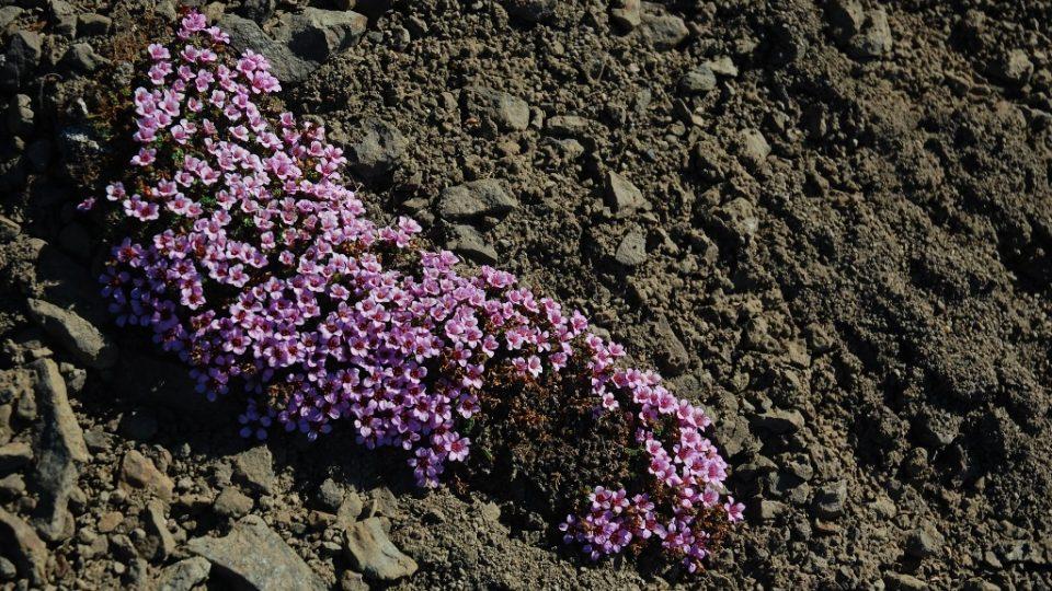Lomikámen vstřícnolistý roste na místech, kde byl ještě před pár lety ledovec
