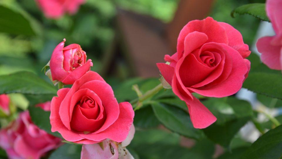 Růžová růže - Věř mi