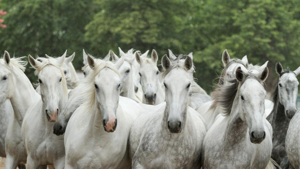 Stádo starokladrubských běloušů