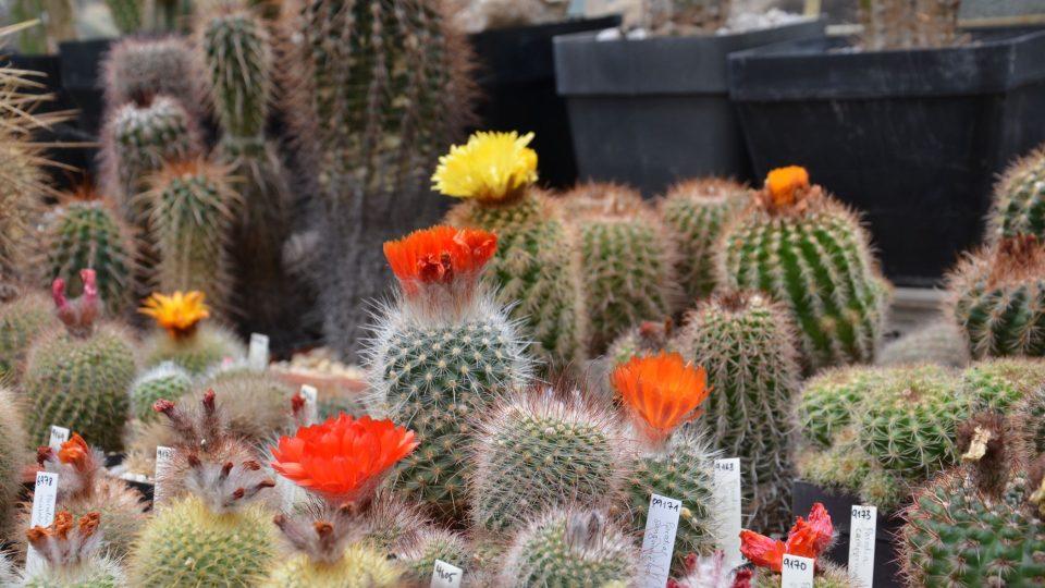 Ve skleníku s expozicí kaktusů a sukulentů