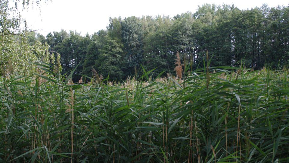 Husté rákosí je místem úkrytu vodního ptactva a rákosníků