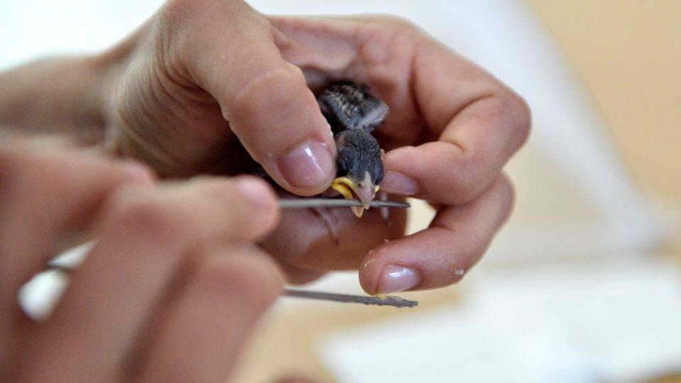 Krmení několikadenních ptáčat v záchranné stanici v Klášterci u Vimperka
