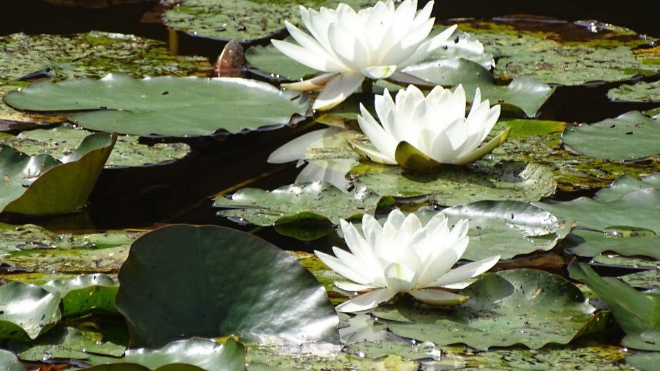 Na Černém rybníku se daří i leknínům