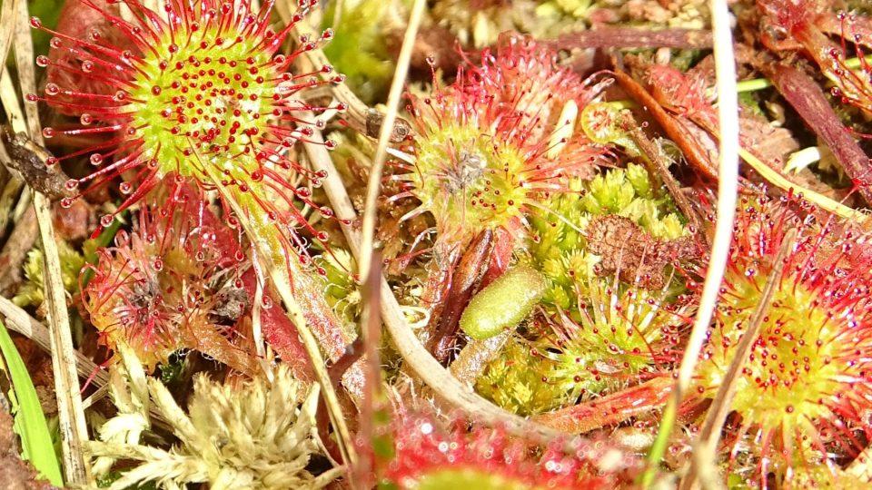 U Černého rybníka najdete i některé masožravé rostliny – rosnatku okrouhrolistou či bublinatku vícekvětou
