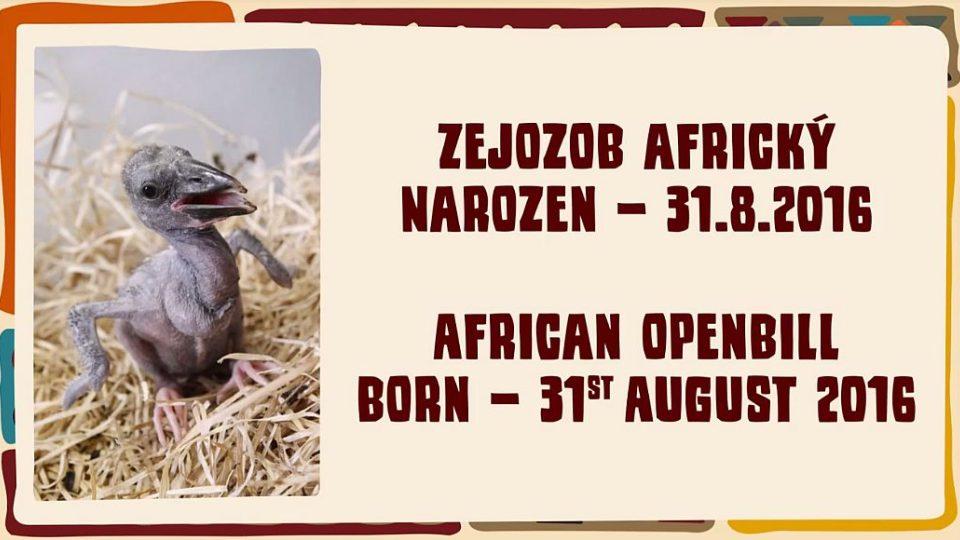 Mládě Zejozoba afrického v ZOO Dvůr Králové nad Labem