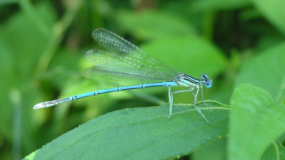 Přírodní rezervace je zajímavá mimo jiné tím, že v ní žije na 18 druhů vážek