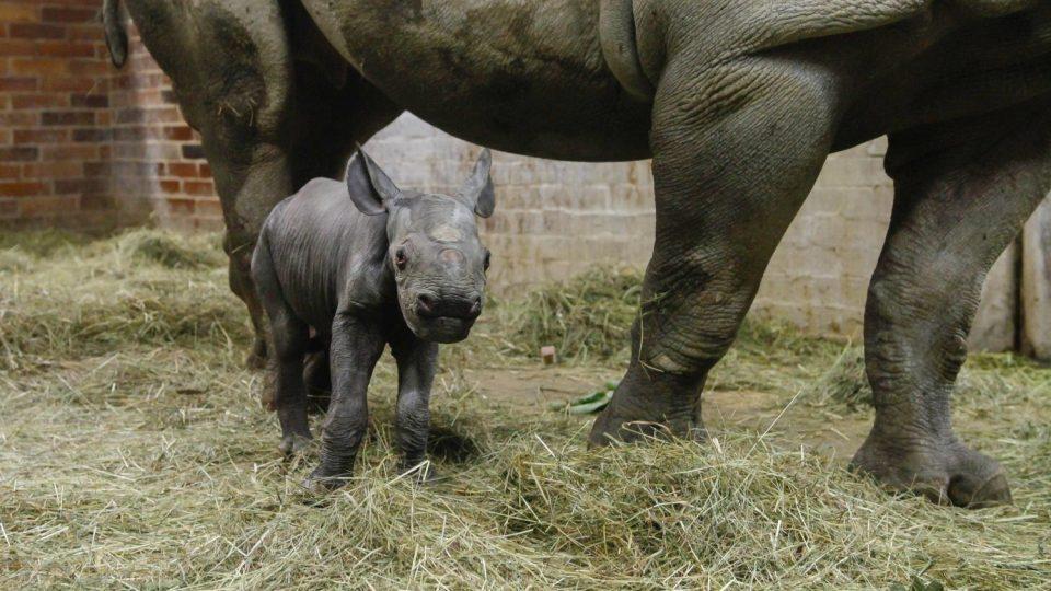 Konečně holka! V ZOO Dvůr Králové se letos narodilo už třetí mládě nosorožce dvourohého