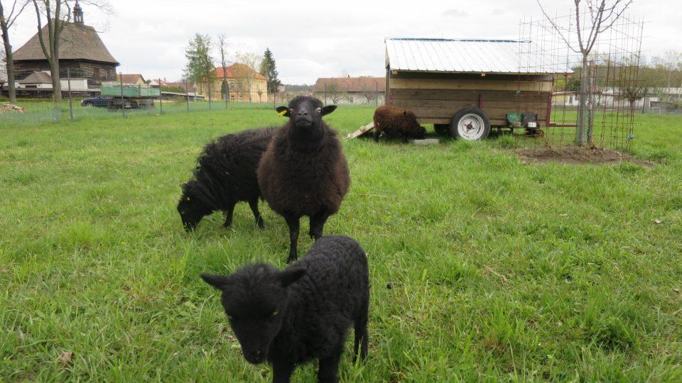 Černé quessantské ovce s pojízdným domkem v pozadí