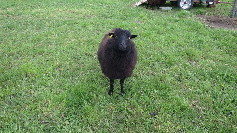 Pohled černé quessantské ovce si jasně říká o pamlsek