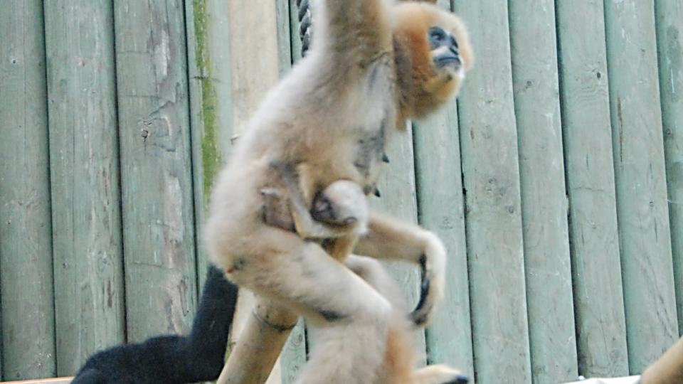 Samice gibona s narozeným mládětem