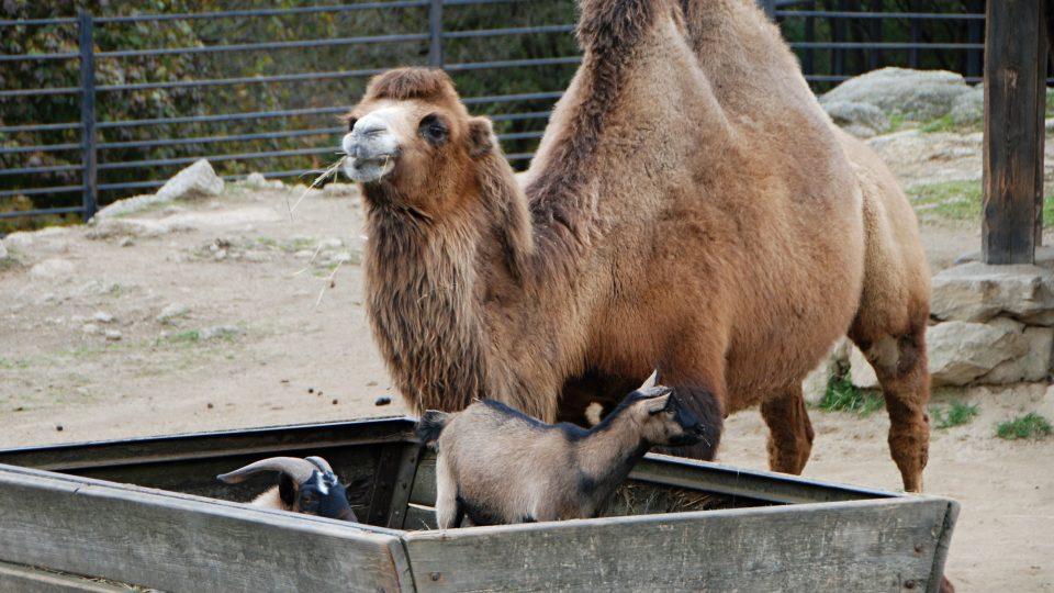 Hříbě shetlandského poníka je ve vý běhu s rodiči i velbloudem