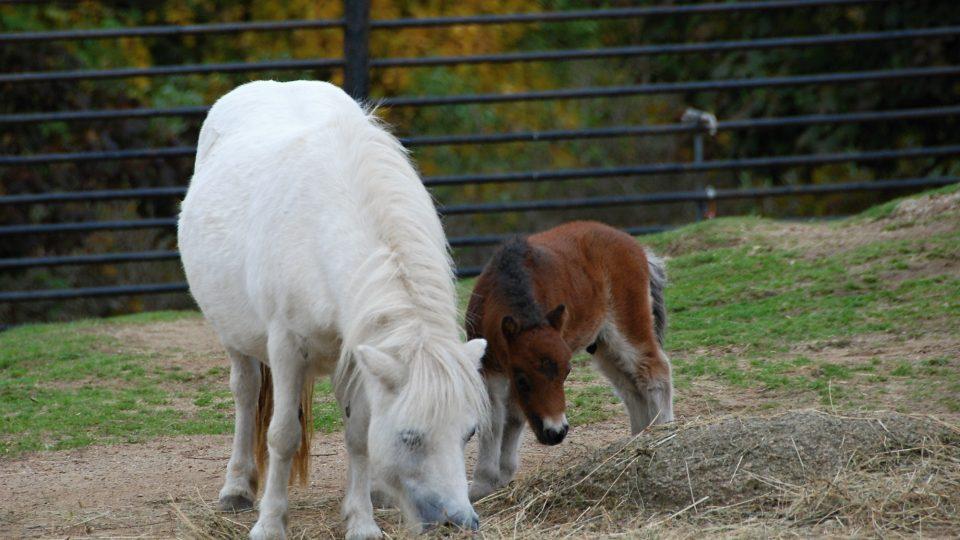 Hříbě shetlandského poníka s matkou