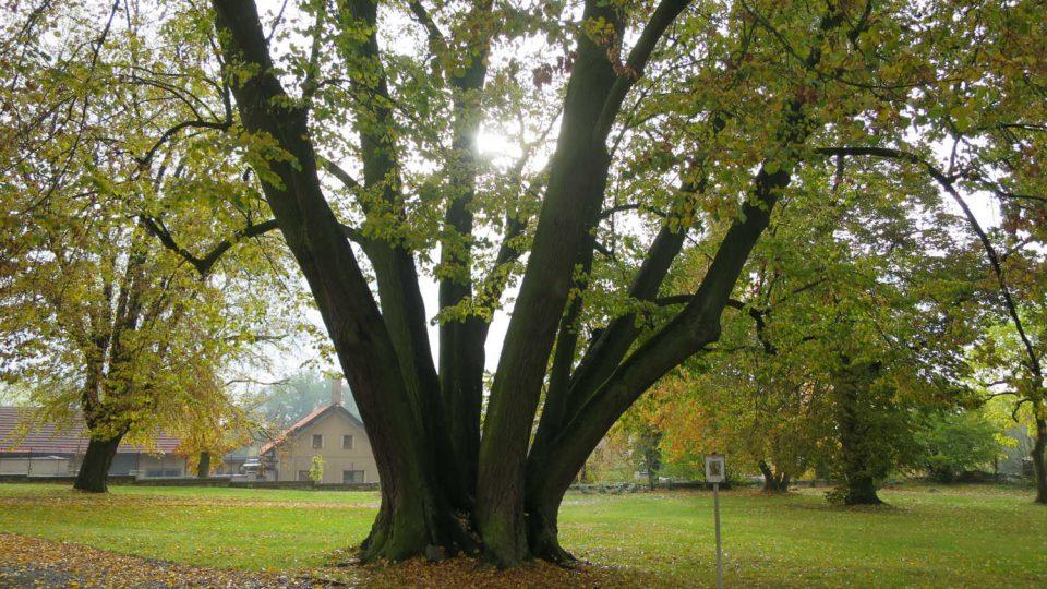 Šestikmenná lípa v zámeckém parku v Zámrsku se stala Stromem roku 2004