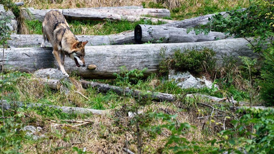 Vlky mohou lidé na vlastní oči vidět v Srní na Šumavě. Žijí zde v oploceném areálu, nad kterým vede lávka pro návštěvníky