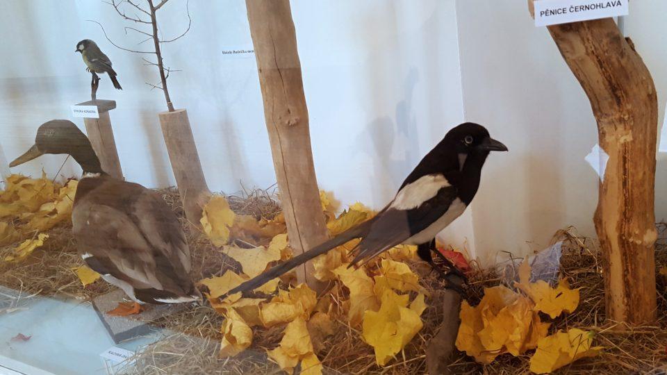 """Foto z výstavy """"To koukáte Tachováci, jaký tady žijou ptáci"""""""