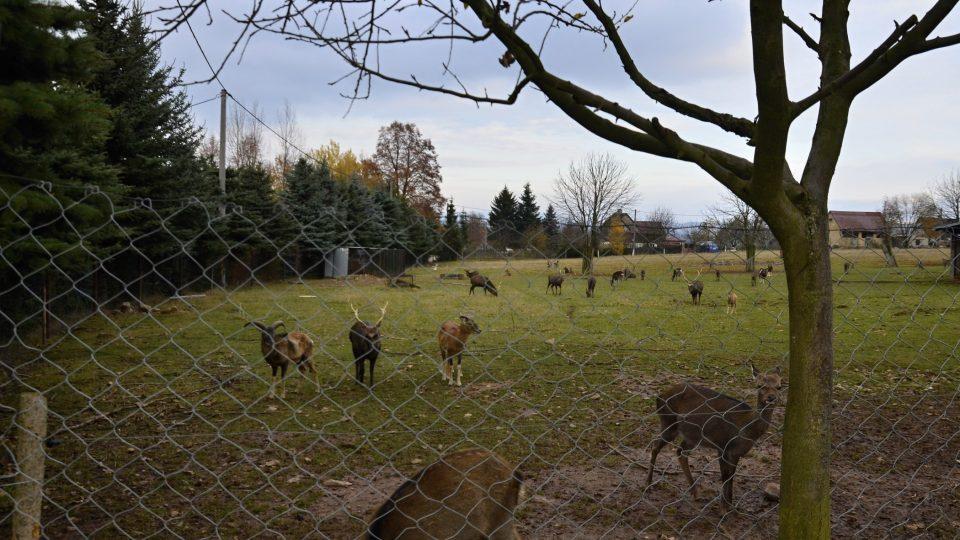 Daňci, jeleni sika, mufloni i vzácný jelenec viržinský žijí na farmě v Martínkovicích