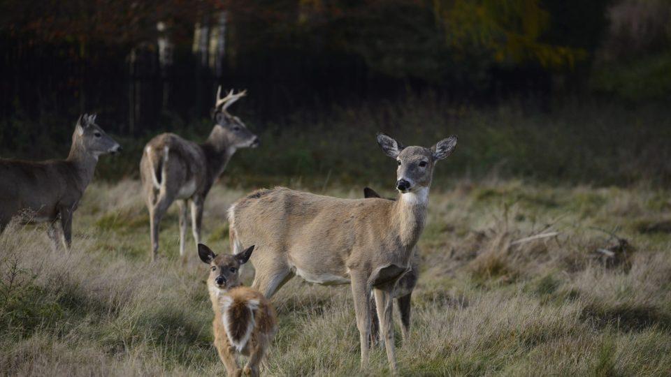 Rodinka jelence viržinského