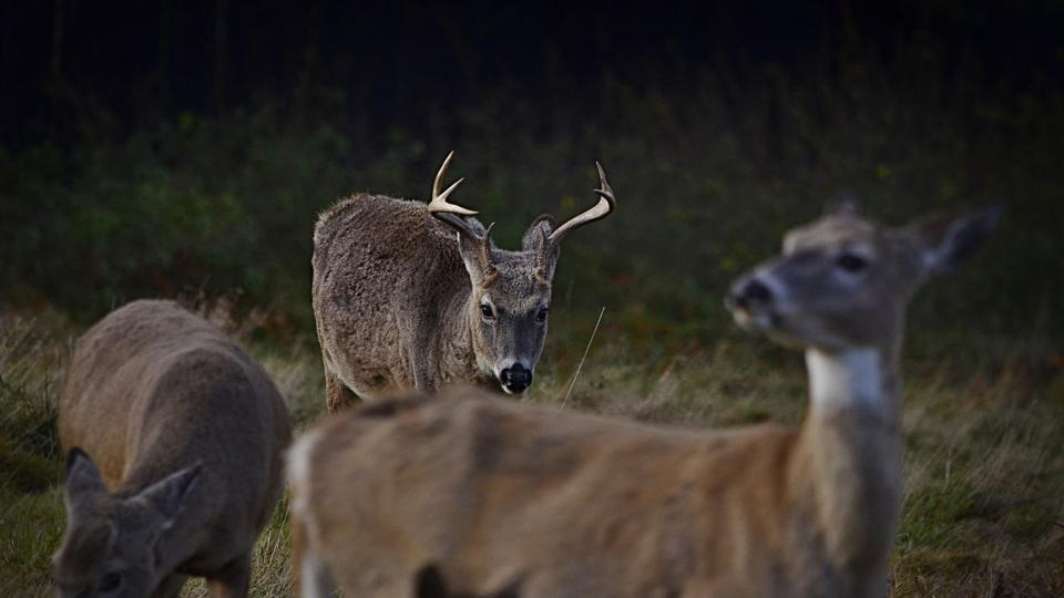 Samec jelence s nápadným parožím