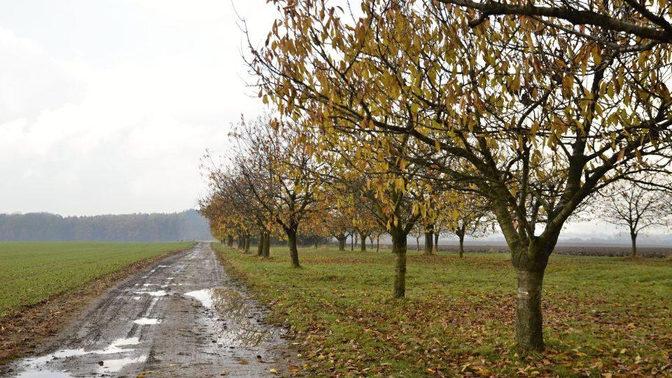 Obnovená třešňová alej, Velká Jesenice