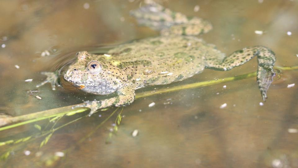 Kuňka obecná žije v tůních u Černého Nadýmače