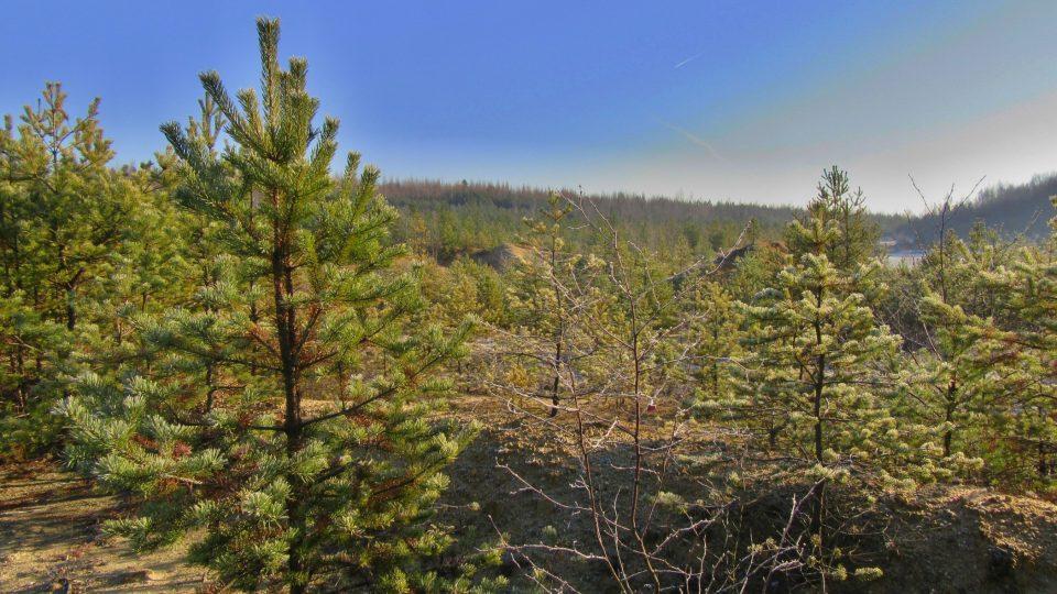 Na chudé písečné půdě se udrží jen pomalu rostoucí borovice