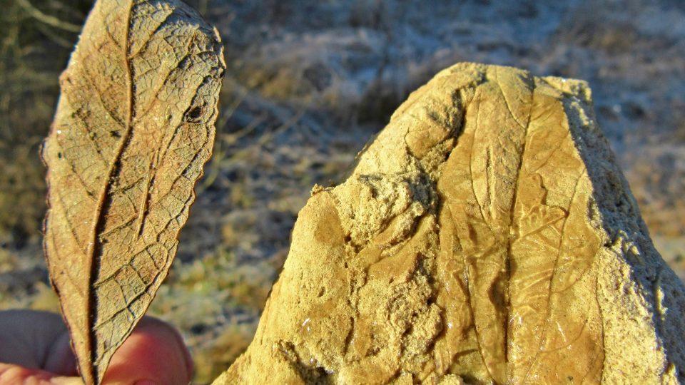 Rozdíl v listech je 35 milionů let