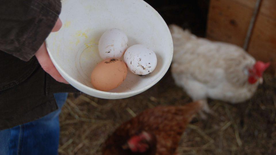 Zachráněné slepice snášejí vajíčka