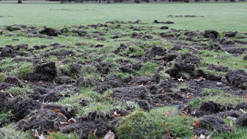 Divoká prasata, která jsou čím dál drzejší, pronikají do města a dělají škody. Právě v Borském parku rozryli oblíbenou odpočinkovou louku