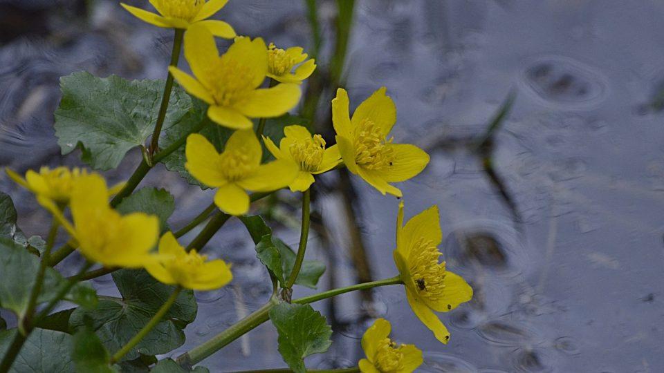 Jaro na řece Úpě