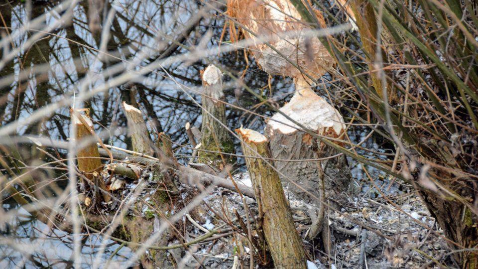 Práce bobrů v Poodří