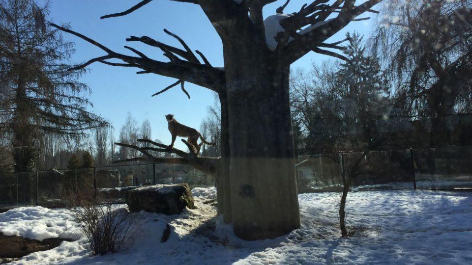 Zimní výběh s gepardy