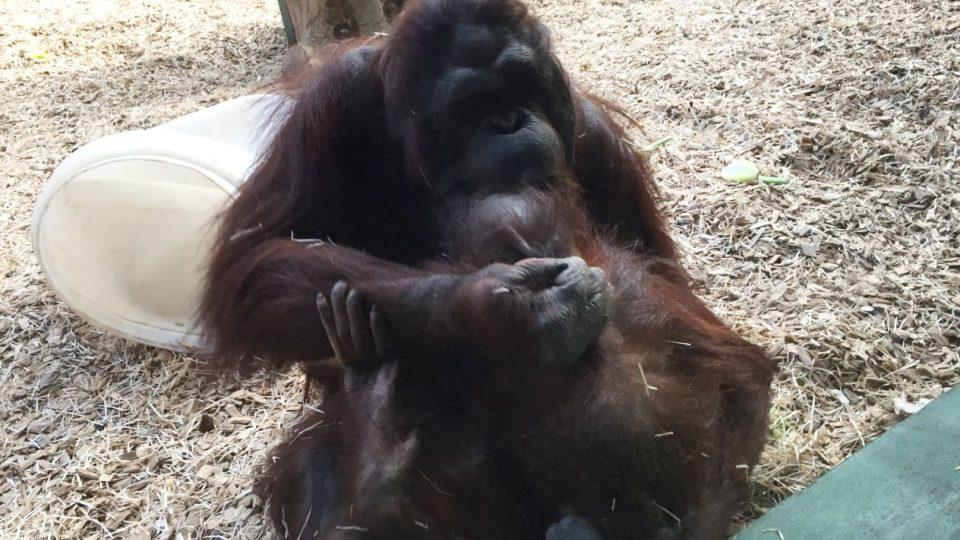 Expozice stále oblíbených orangutanů bornejských