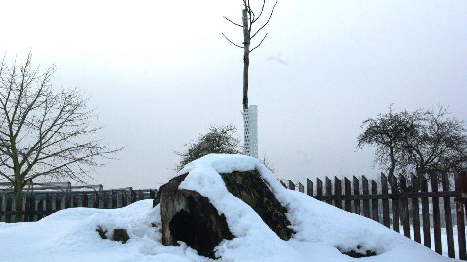 Výmladek lípy na torzu původního památného stromu